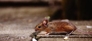 Richmond Pest Control Rodent Infestation Signs & Prevention